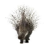 porcupine-spike