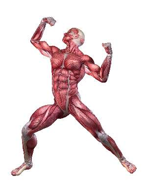 posing-man-muscle-anatomy
